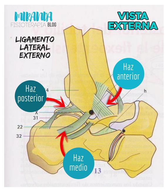 ligamento lateral externo del tobillo con sus 3 hazes: visión externa