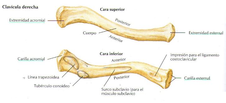 PARTES DE LA CLAVICULA