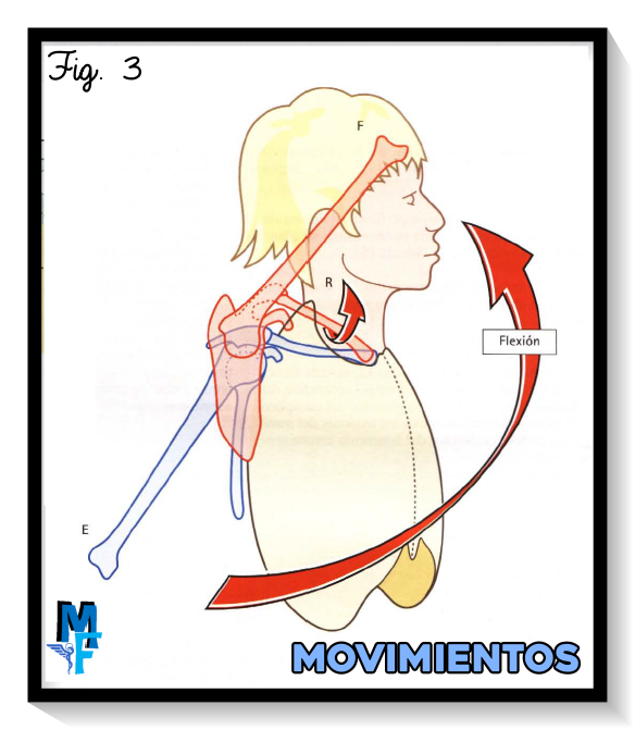 movimientos de flexoextensión de la articulación acromioclavicular
