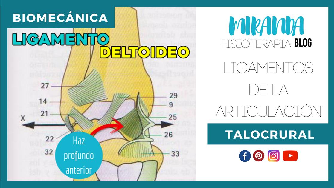 LIGAMENTOS DE LA ARTICULACIÓN TALOCRURAL | Miranda Fisioterapia Blog ...