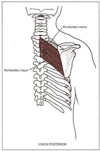aducción y rotación inferior dada por los romboideos mayor y menor