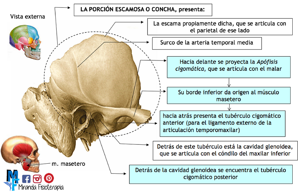 Huesos del cráneo: hueso temporal