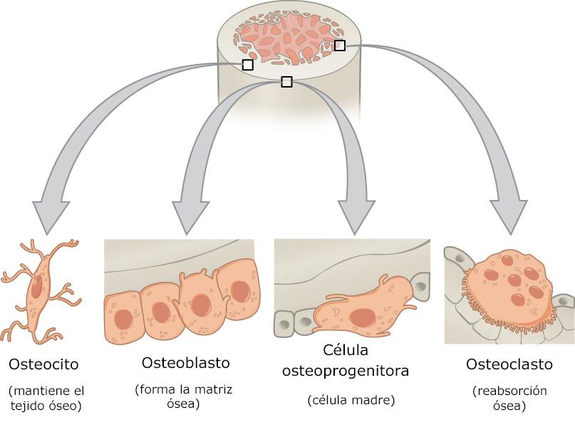 células óseas - estructura ósea y clasificación