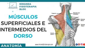 Músculos superficiales e intermedios del dorso (espalda)