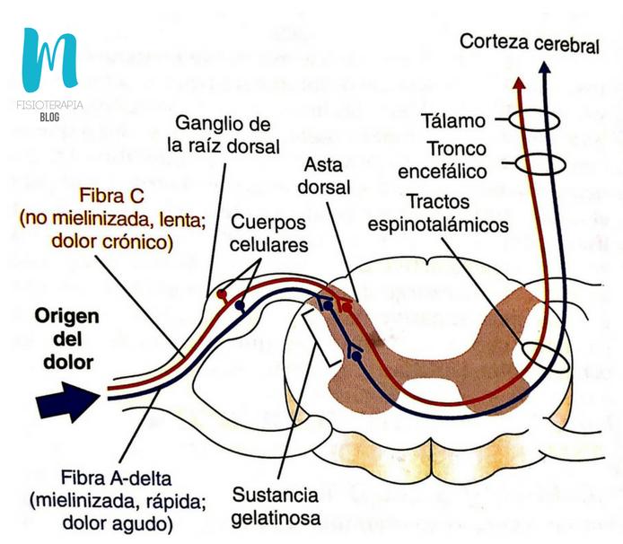 vía nerviosa ascendente del dolor mediado por fibras A-delta y fibras C hacia la médula espinal y el encéfalo