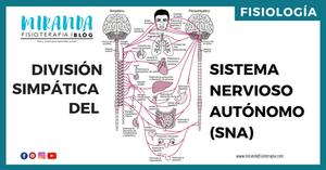 división  simpática del sistema nervioso autónomo (SNA)