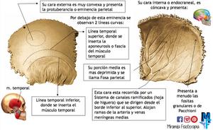 Huesos del cráneo: hueso parietal