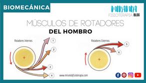 Músculos rotadores internos y externos del hombro