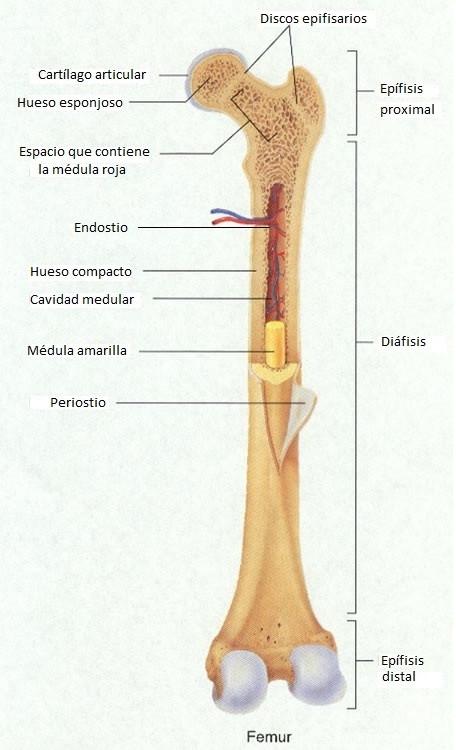 estructura del hueso largo