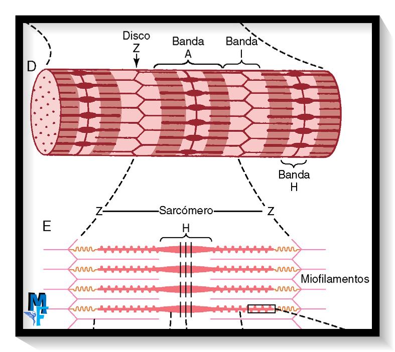 Músculo esquelético: sarcomero