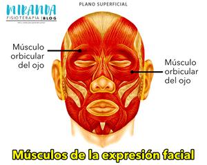 Músculo orbital del ojo - músculos de la expresión facial