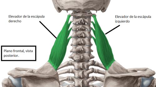 Músculos superficiales e intermedios del dorso - elevador de la escapula