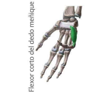 flexor corto del dedo meñique- Músculos intrínsecos de la mano