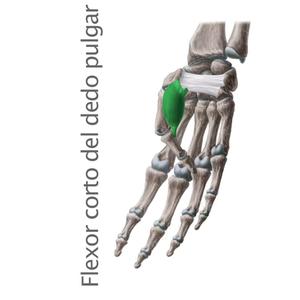 flexor corto del pulgar- Músculos intrínsecos de la mano