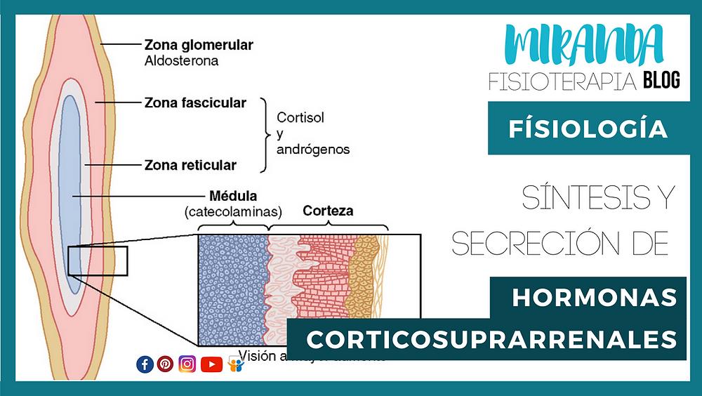 síntesis y secreción de hormonas corticosuprarrenales