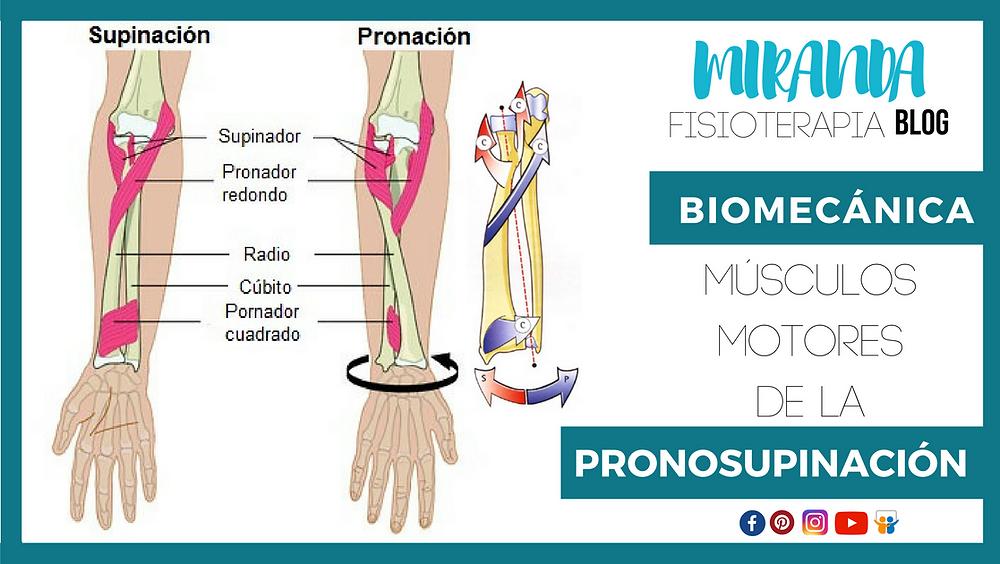 músculos de la pronosupinación
