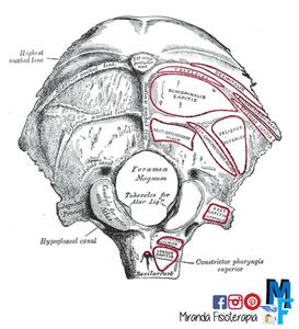 Huesos del cráneo: hueso occipital