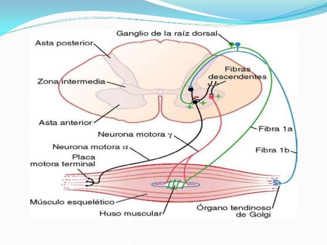 motoneuronas anteriores: Sistema Motor