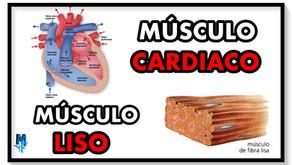 Diferencias entre el músculo cardíaco y músculo liso