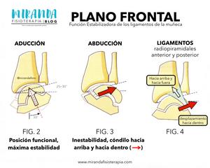 función estabilizadora de los ligamentos de la muñeca: plano frontal en abducción y aducción