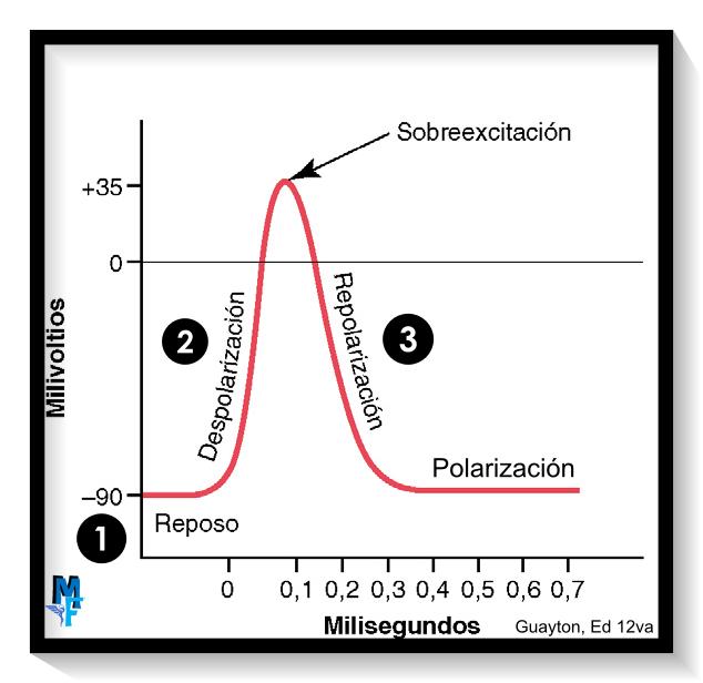 fases del potencial de acción de membrana