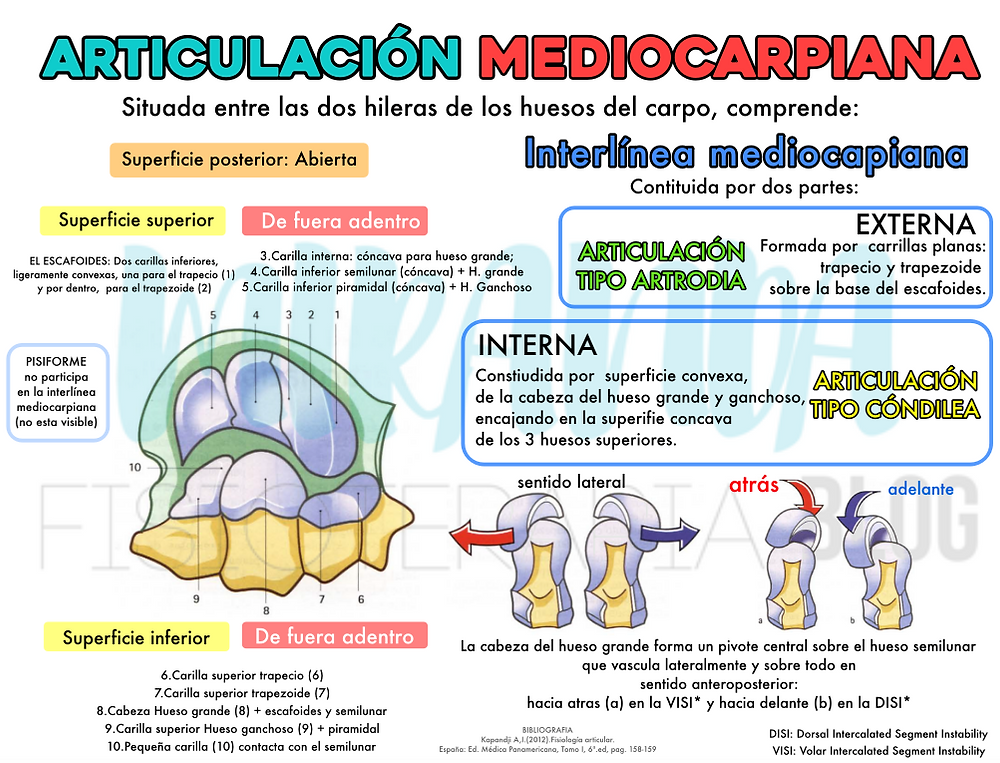 articulación mediocarpiana: superficies articulares, interlínea mediocarpiana: externa e interna y el sentido del hueso grande