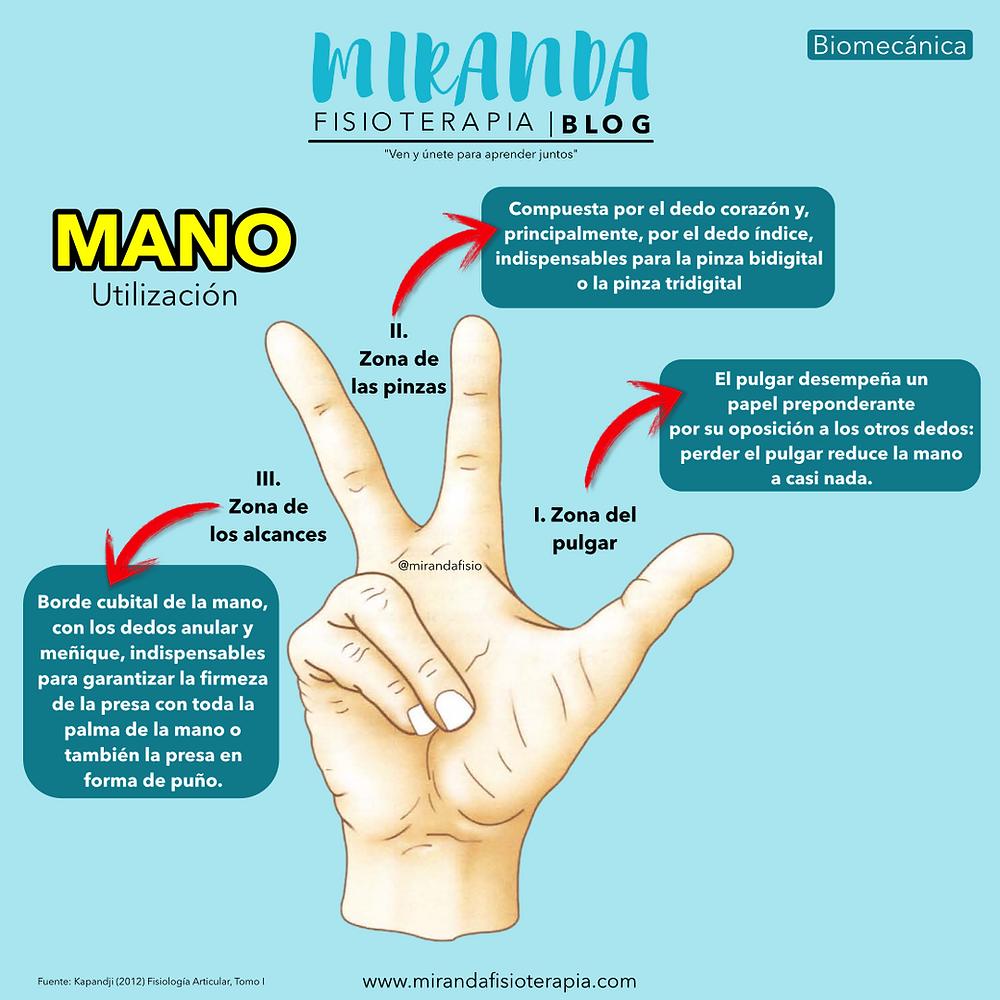 la mano y su utilización: Zona del pulgar, Zona de las pinzas y zona de los alcances