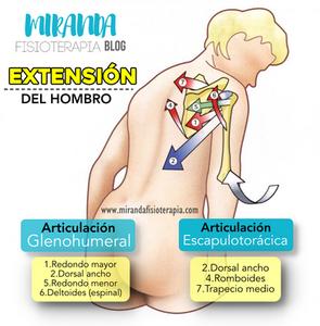 Músculos extensores del hombro: biomecánica (Kapandji)