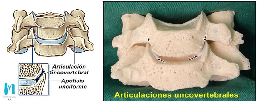 articulación uncovertebral
