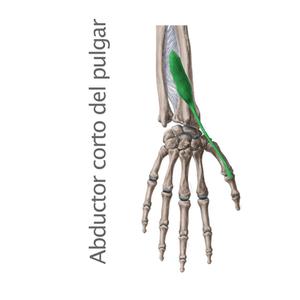 abductor corto del pulgar- Músculos intrínsecos de la mano