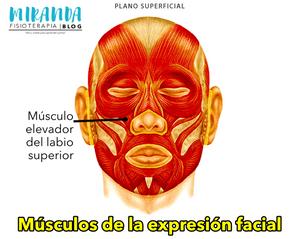 Músculo elevador del labio superior - músculos de la expresión facial