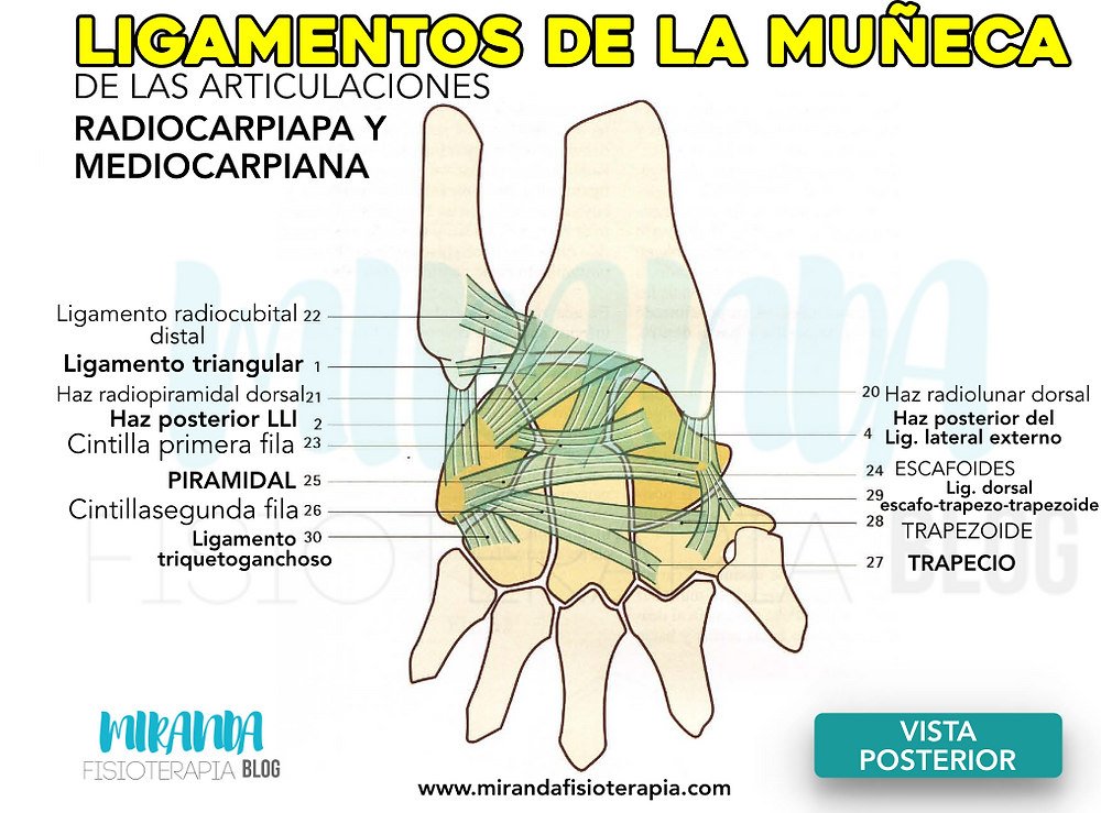 Ligamentos de la muñeca de la articulación radiocarpiana y mediocarpiana en una visión posterior