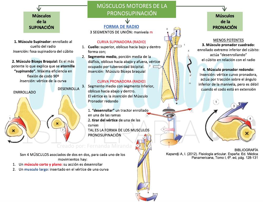 Músculos de la pronosupinación en mapa conceptual