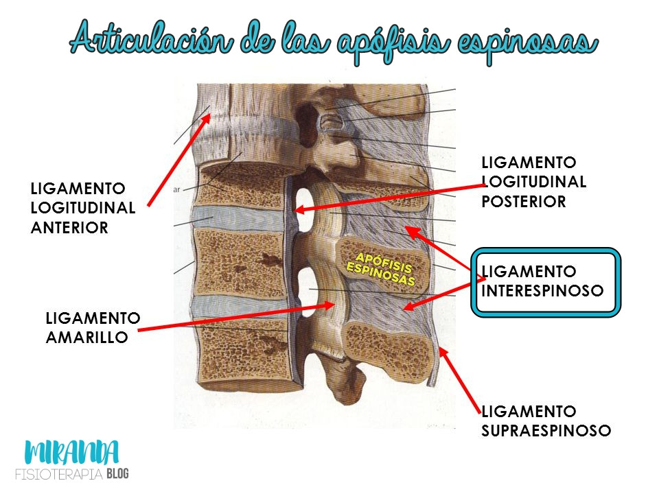 articulación de las apófisis espinosas