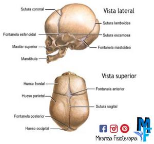 Huesos del cráneo: fontanelas y suturas