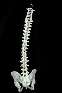 cavidad vertebral