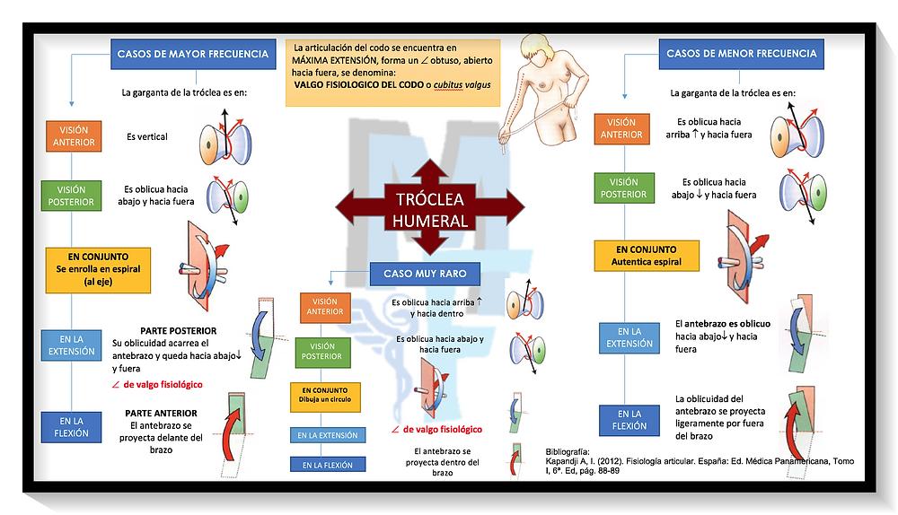 MAPA CONCEPTUAL de la tróclea humeral (articulación del codo) - Miranda Fisioterapia BLOG