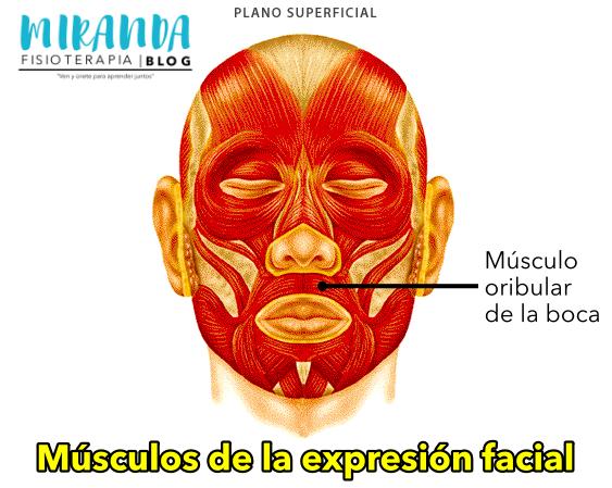 Músculo orbicular de la boca - músculos de la expresión facial