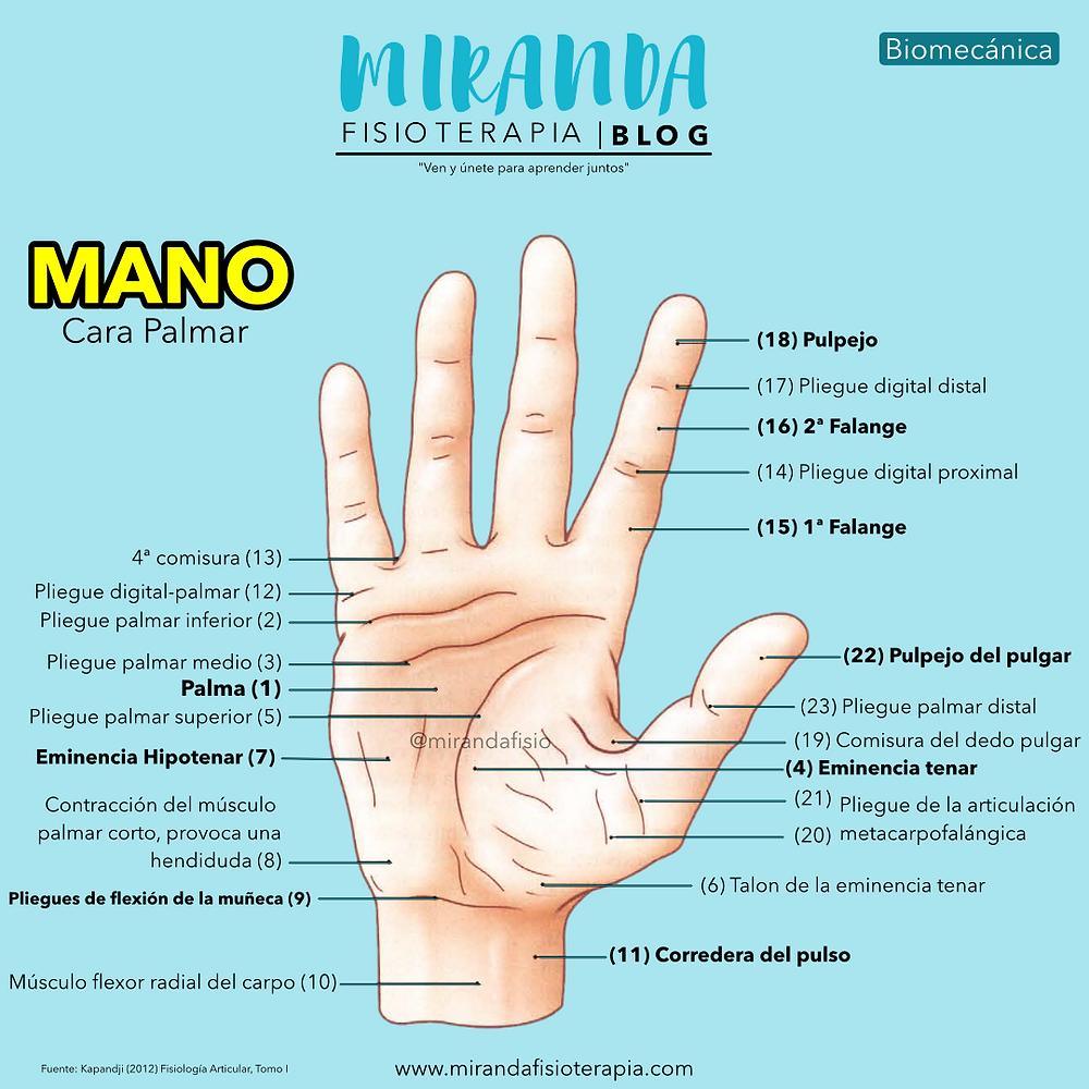 La mano. Facultad de prensión de la mano: Vista anterior o palmar