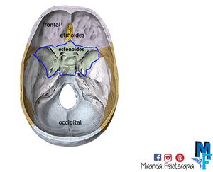 Huesos del cráneo: esfenoides