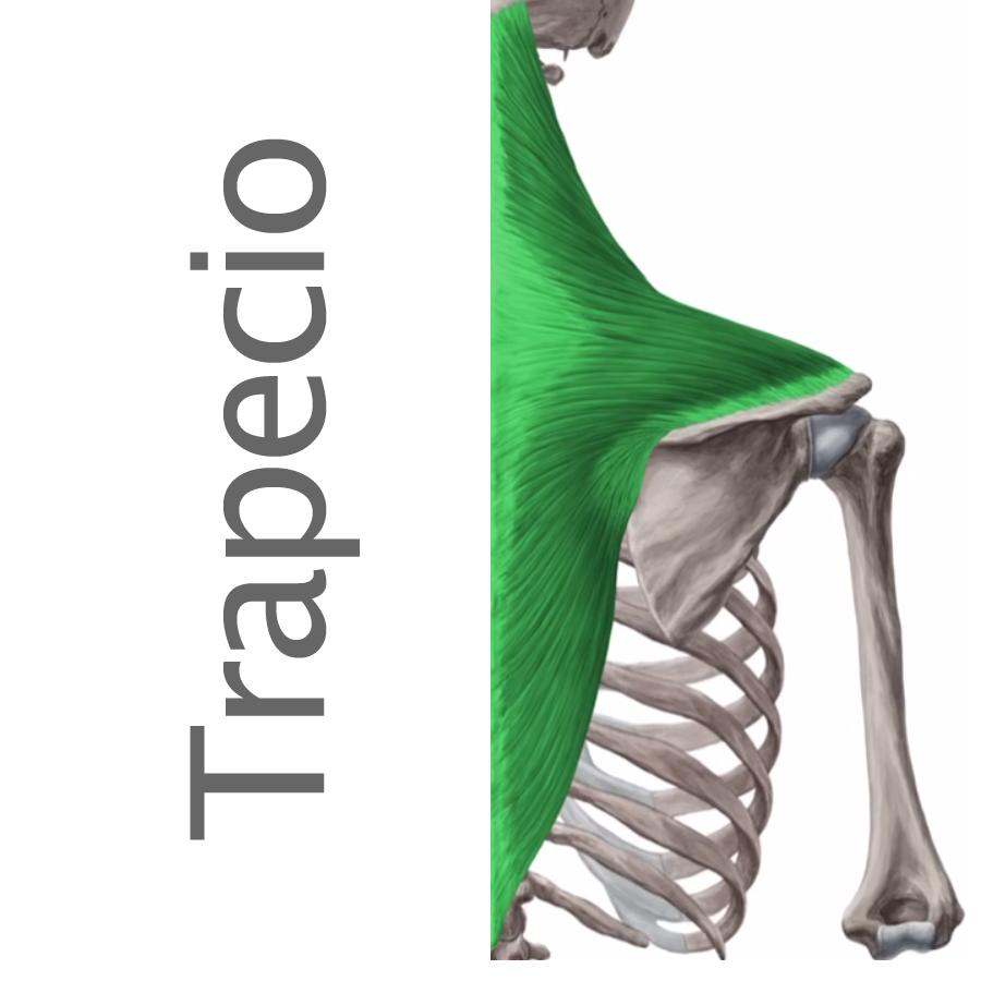 Músculos superficiales e intermedios del dorso - trapecio