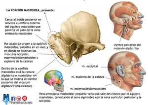 Huesos del cráneo: porción mastoidea