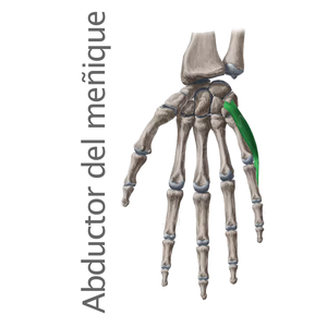 abductor del dedo meñique- Músculos intrínsecos de la mano