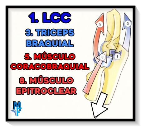 Músculos extensores del codo - Máxima extensión - FACTORES DE COAPTACIÓN Y AMPLITUD DE MOVIMIENTO DEL CODO