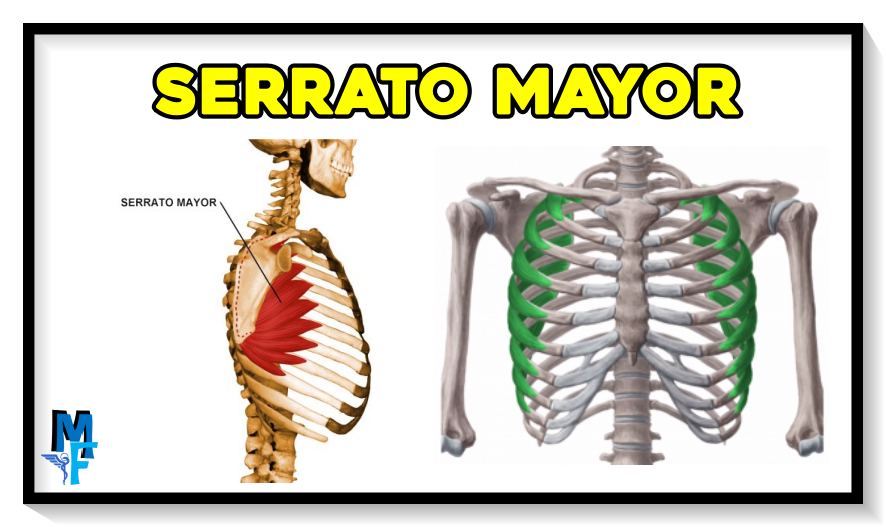 serrato mayor