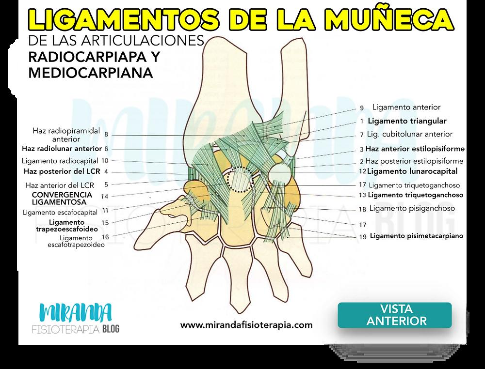 Ligamentos de la muñeca de la articulación radiocarpiana y mediocarpiana en una visión anterior