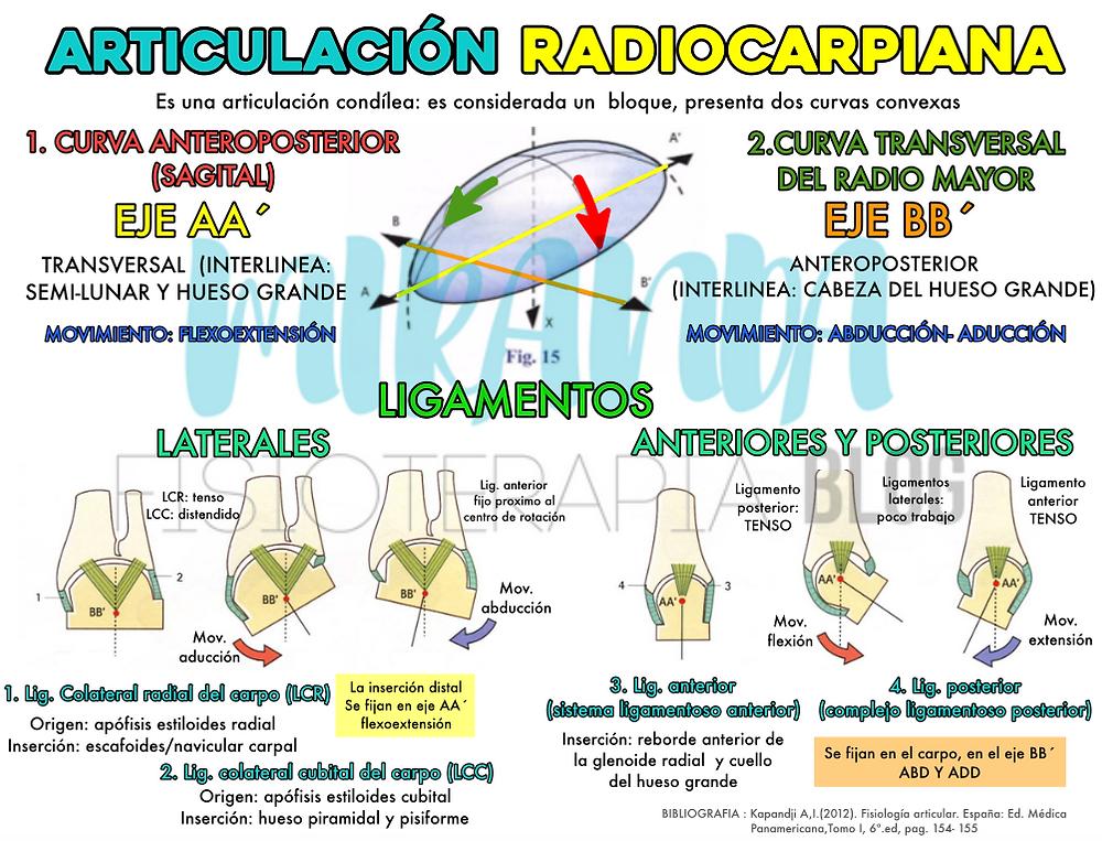 Articulación radiocarpiana, ligamentos laterales, anteriores y posteriores