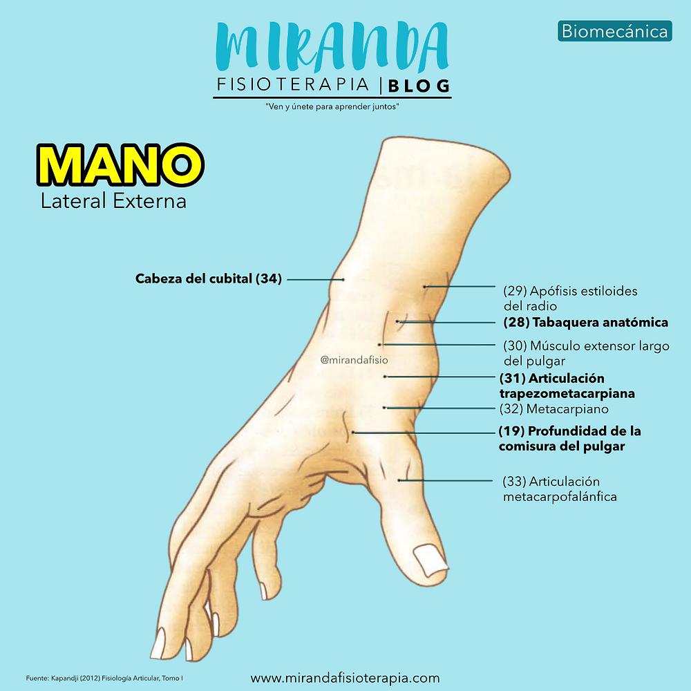 La mano. Facultad de prensión de la mano : Vista lateral externa de la mano