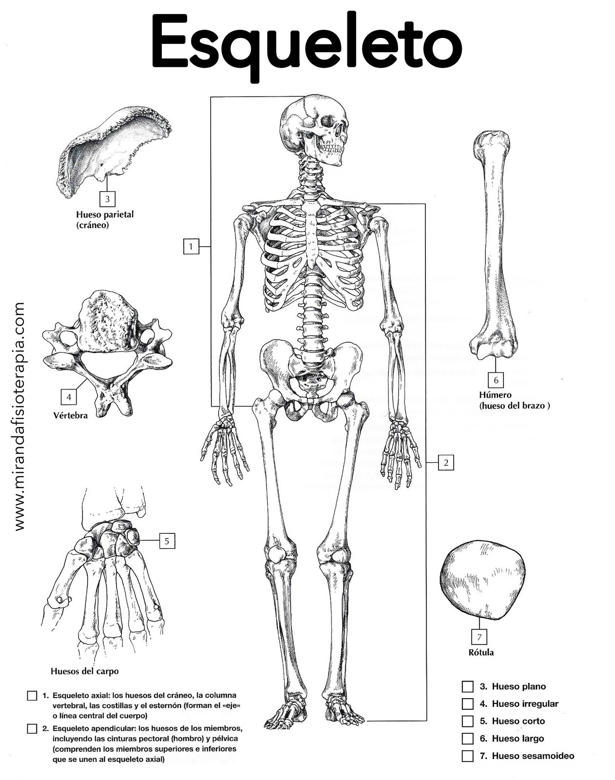 Esqueleto Humano Para Colorear