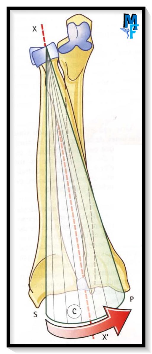 pronosupinación: dos articulaciones coaxiales